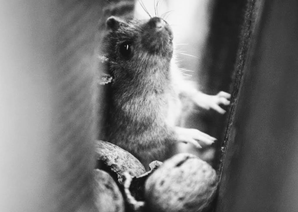 Mouse in a wall